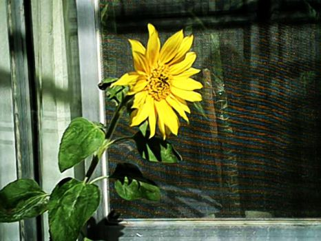 Suns Flower - yellow by pattsy