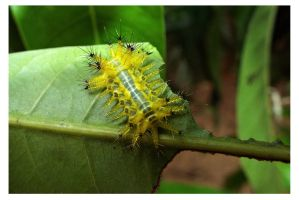 Caterpillar 22 by kiew1