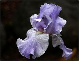 PURPLE IRIS PHOTO by THOM-B-FOTO