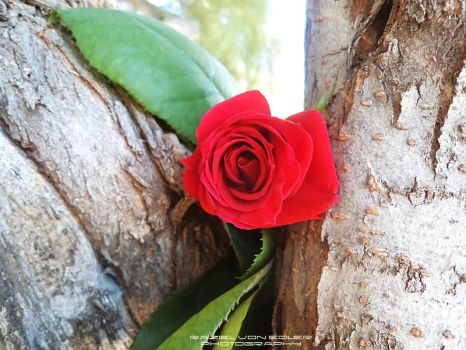 Rosa in the tree by RazielMB-PhotoArt
