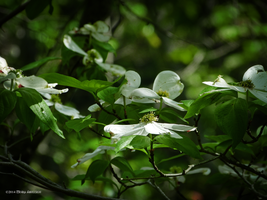 Dogwood flowers by Mogrianne