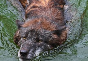 Swimming wolf by mkuegler