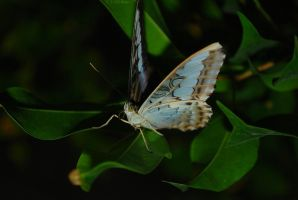 A butterfly IV by Aldith