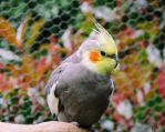 Cockatiel 2 by Lionessrules