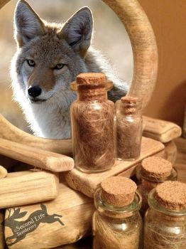 Coyote fur-bottle FOR SALE *Ethically sourced* by SecondLifeTaxidermy