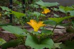 Squash Blossoming 2013-07-08 01 by skydancer-stock