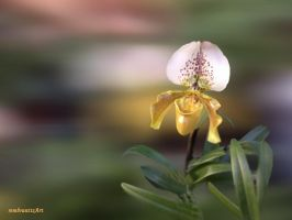 Orchidee-02-2013-12-10 by rembrantt