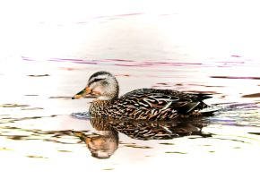 Mallard Duck by Joe-Lynn-Design