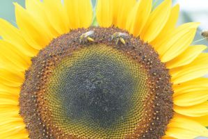 Pollen Station, Bees and Sunflower 11 by Miss-Tbones