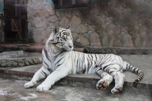 white tiger by KaterinaRaed