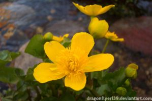 Blooming Caltha by DragonFlyer139