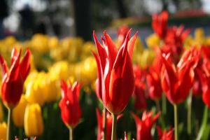 Red Tulips And The Sun by alazada9855