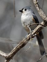 A Tufted Titmouse profile by masscreation