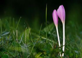 Colchicum autumnale. by lica20