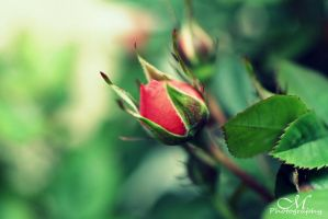 rose. by MartinaPhotography