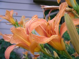 Tiger Lilies by SacredJourneyDesigns
