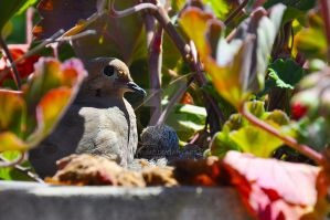 Mourning Dove by Eva-Yume