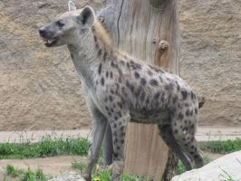 Spotted Hyena 03 by animalphotos