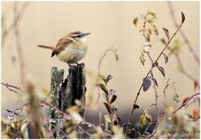 Carolina Wren by Ryser915