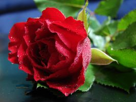 Red rose- stock by AJK-Original-Stock