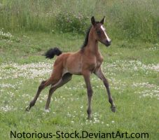 Arabian Filly 001 by Notorious-Stock