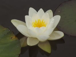 Water Lily by ShmibProductions