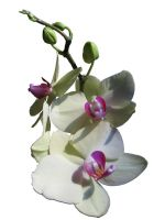 Orchid stock by candy-lace-stock