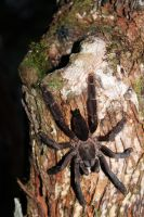 Tarantula by margaretrocks