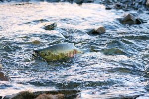 Salmon Spawning 3 by wolfnipplechips