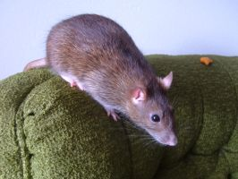 Pippin Ratfoot by thecymbalwench