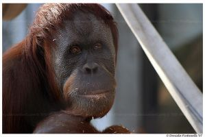Mother Orangutan by TVD-Photography
