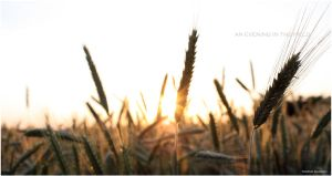 An Evening in the field III by DandD-Photography