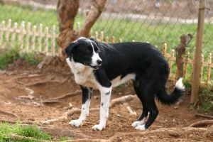 Border Collie Stock [Tex] 3 by HPsCopperMoments