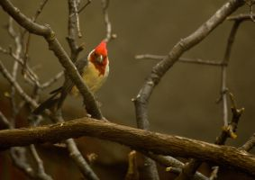 Red Crested Cardinal by toshema