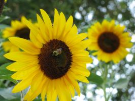 Bee on the Sunflowers again by Cyberpriest