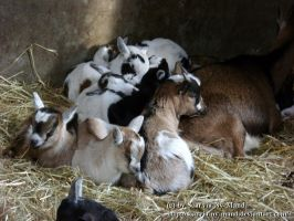 Goatpile by Scarvia-Ny-Mand