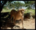 Cheetah: Hello by TVD-Photography