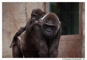 Gorilla and baby by TVD-Photography