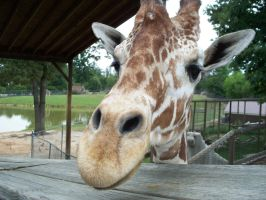 Giraffe Close Up by iaml0st815