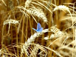 blue butterfly on grain by Anjavinci