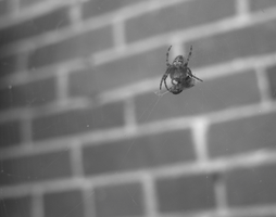 Eating Spider by claushiru