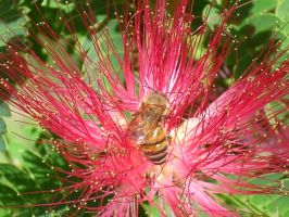 Bees In My Mimosa Tree-03 by hummingbird88