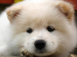samoyed puppy by bubumo