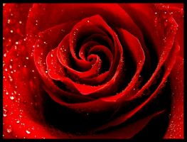 Blood red rose by phrozendesign