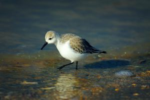 Sanderling by JoostvanD