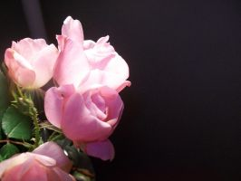 Pink Roses 001 by DominosAreFalling