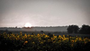 Sunset Sunflowers by louislienhoeft