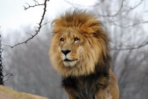 African Lion 15 by 8TwilightAngel8