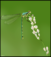 Dragonfly by TornTethers
