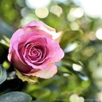 Pink rose with bokeh 3 by FrancescaDelfino